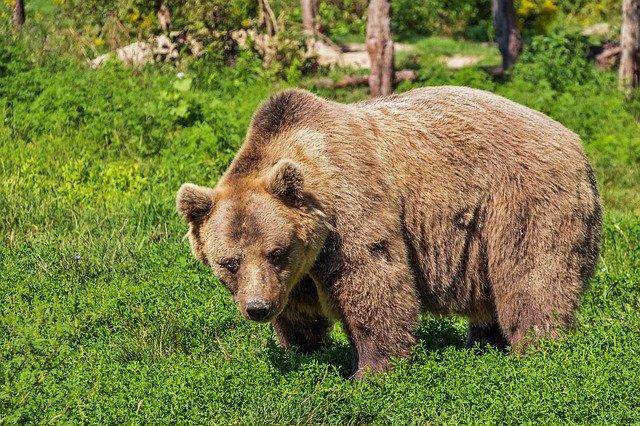 Bear Camping Hiking Wildlife