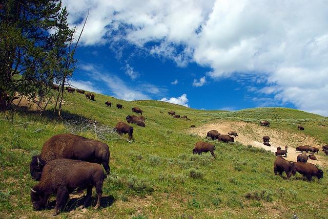 Bison Yellowstone Camping Animals