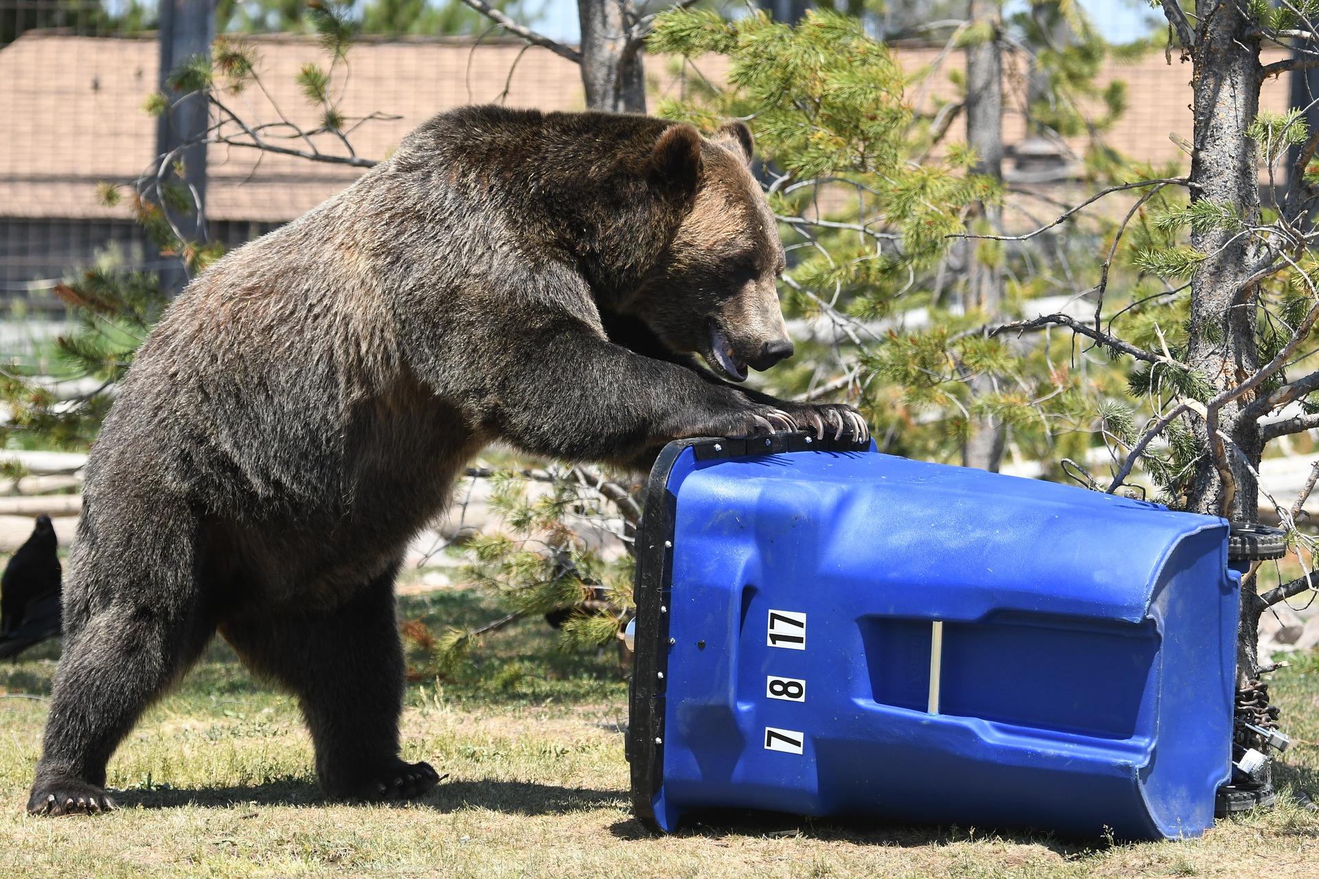 bear trash can pixabay