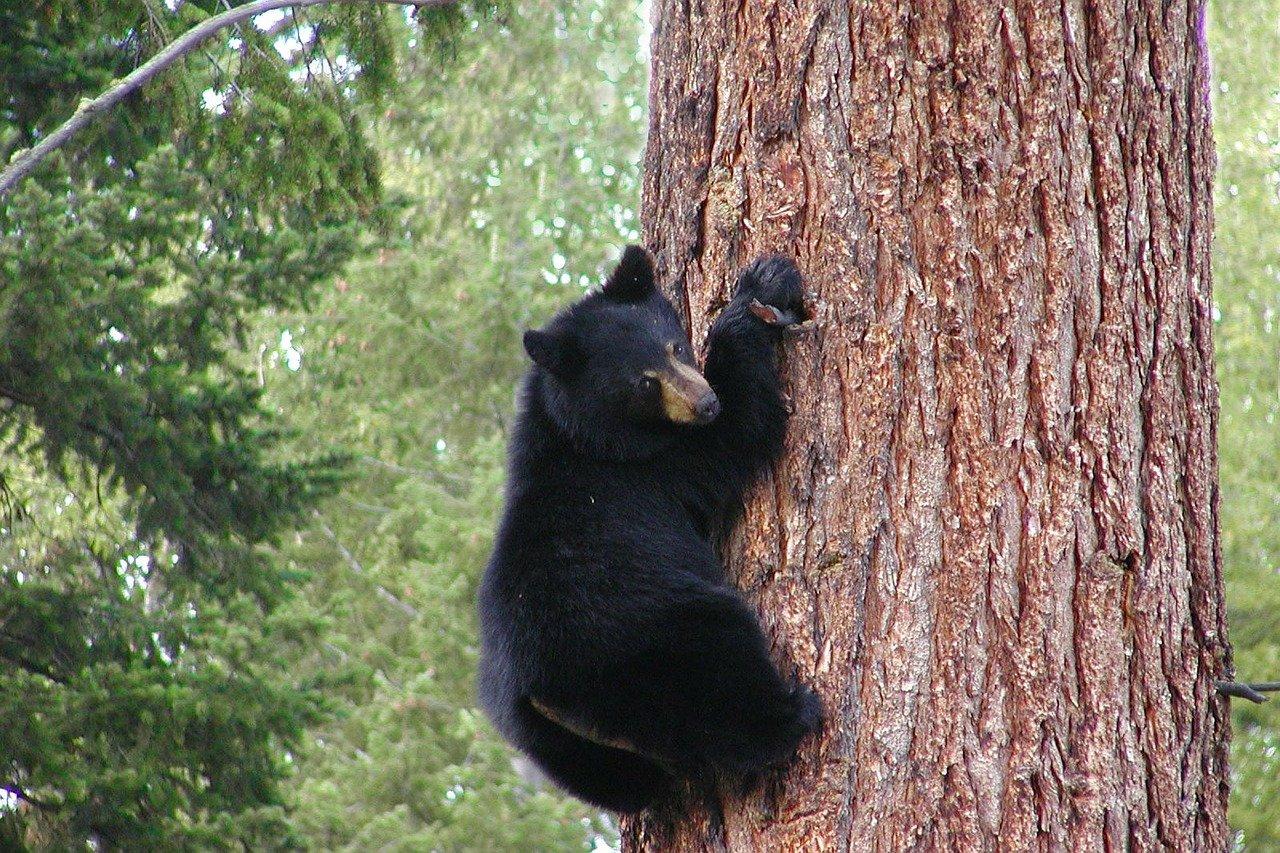 black bear tree pixabay