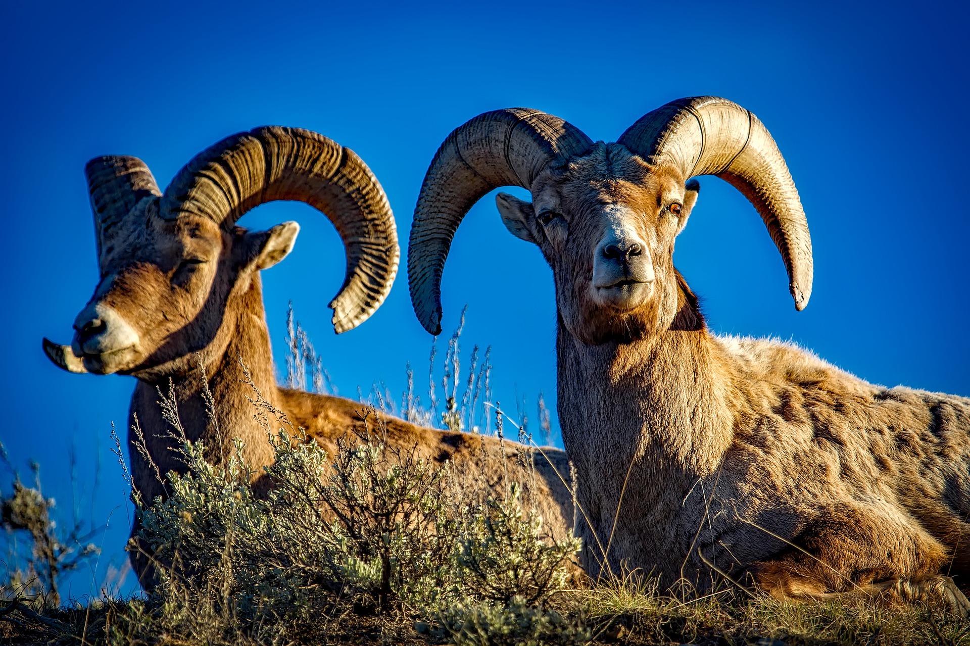 bighorn sheep yellowstone pixabay