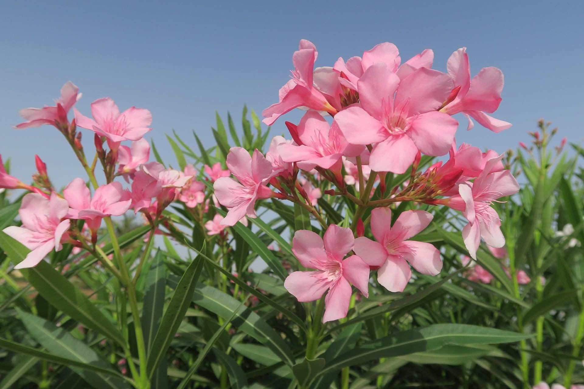 oleander flower pixabay
