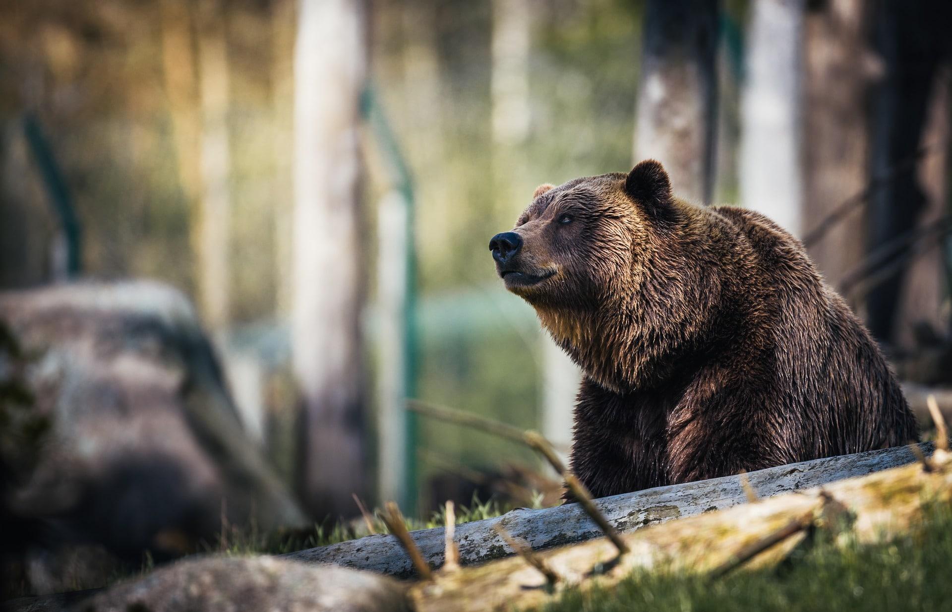 bear woods pixabay