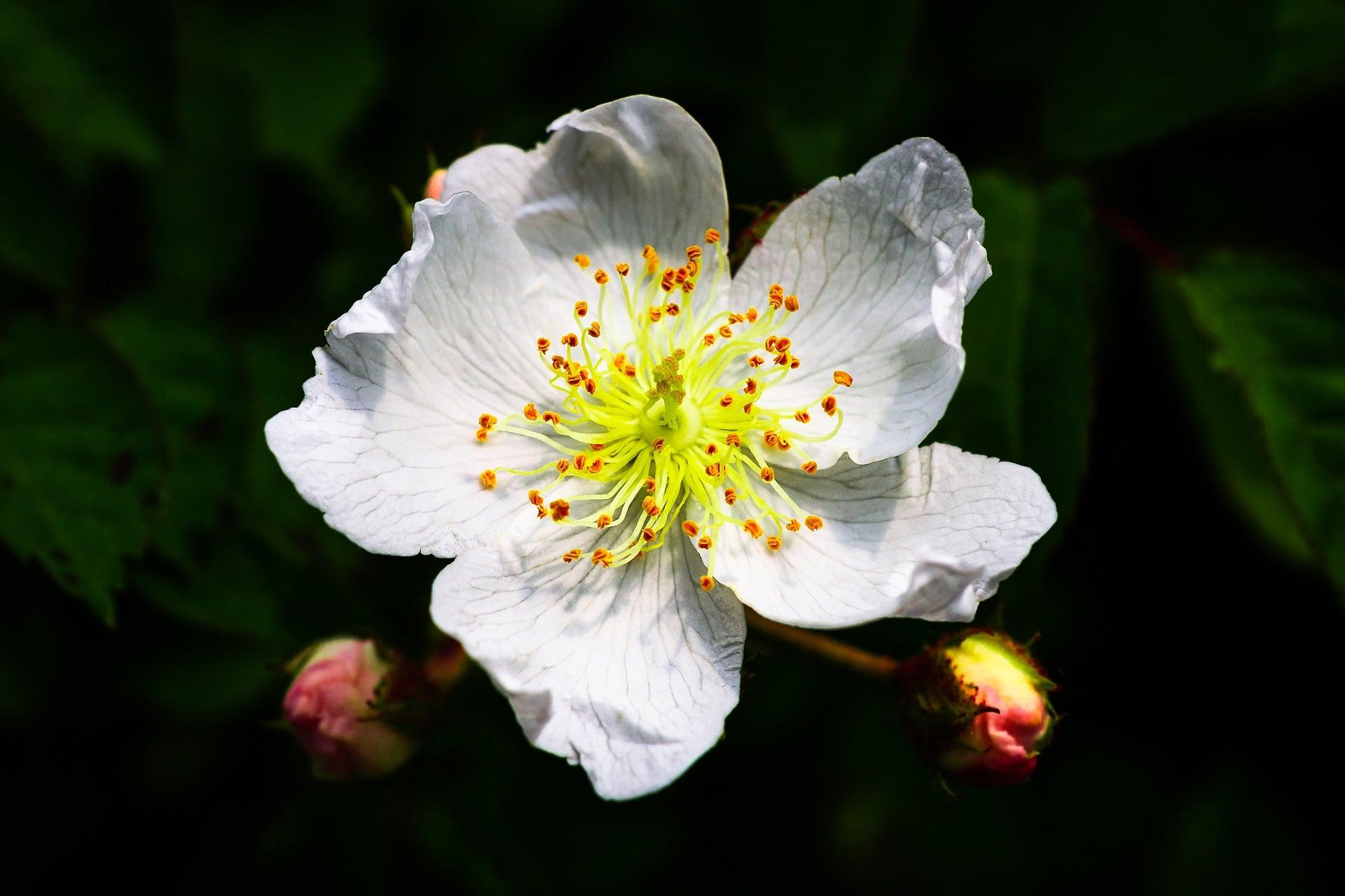 multiflora rose pixabay