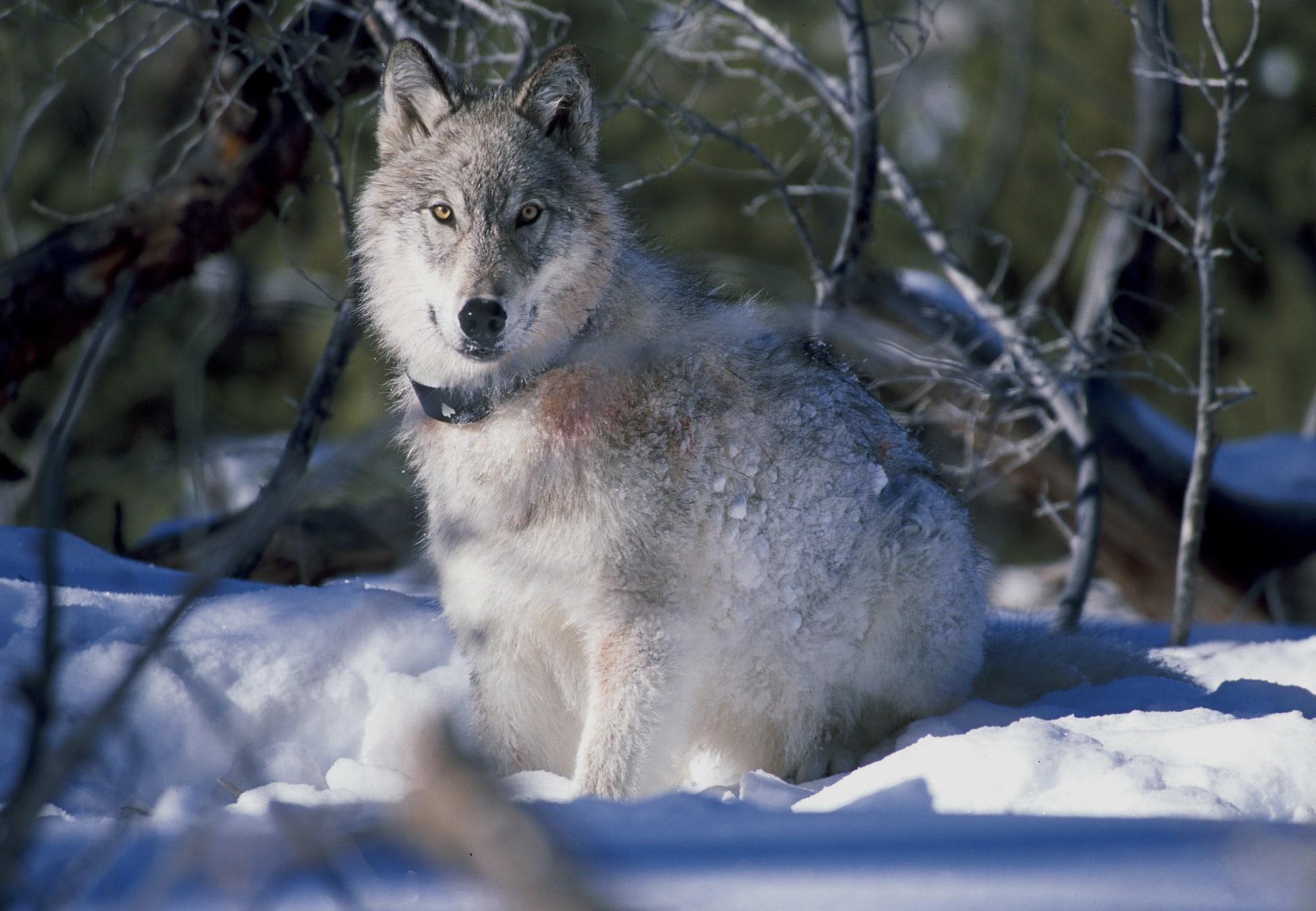 wolf yellowstone national park pixabay