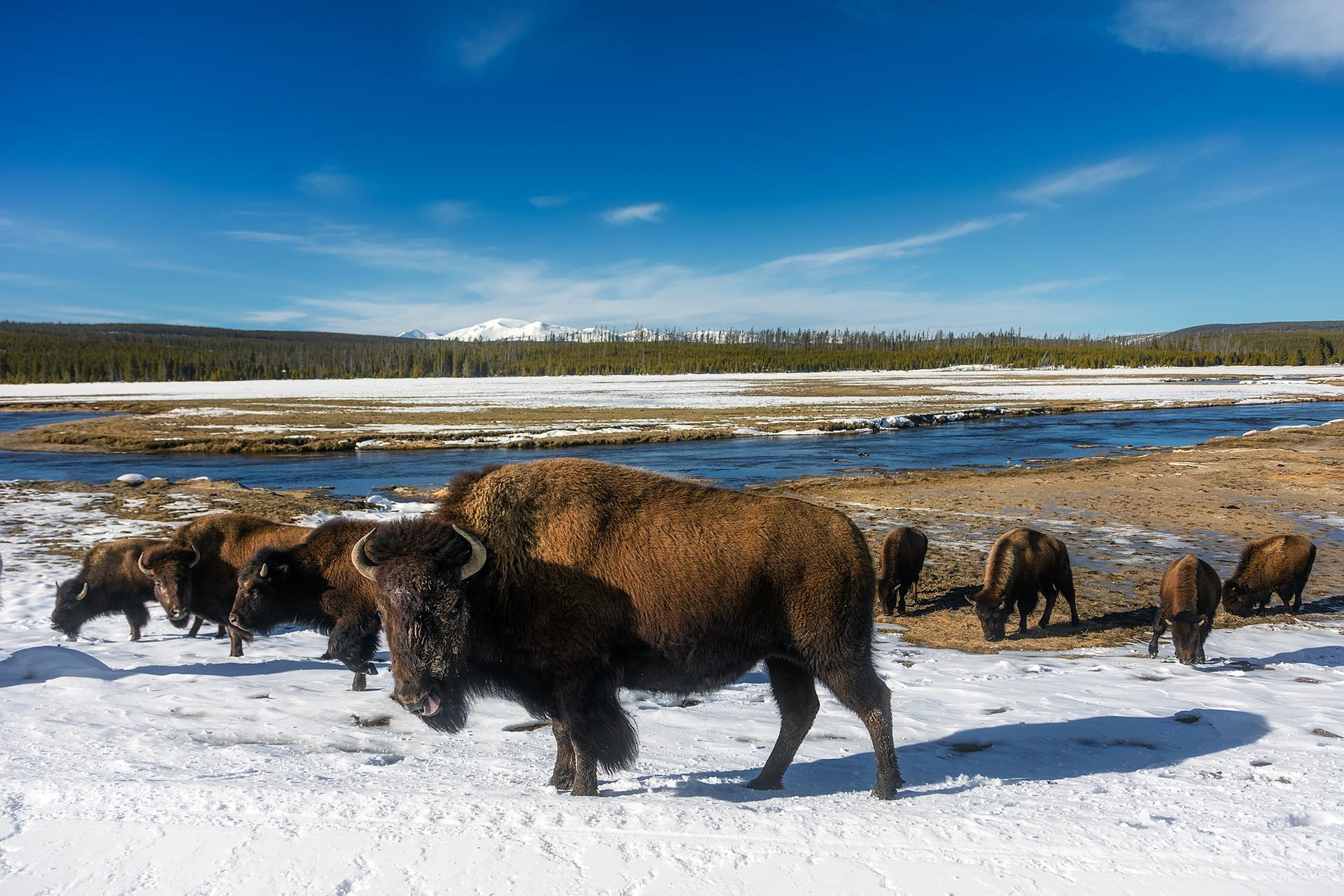 bison yellowstone pixabay