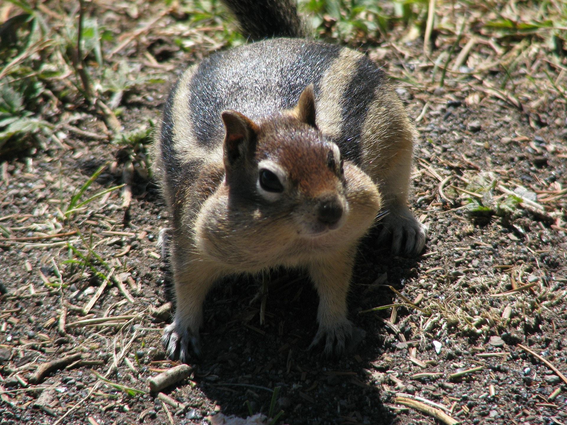 national park ground squirrel pixabay