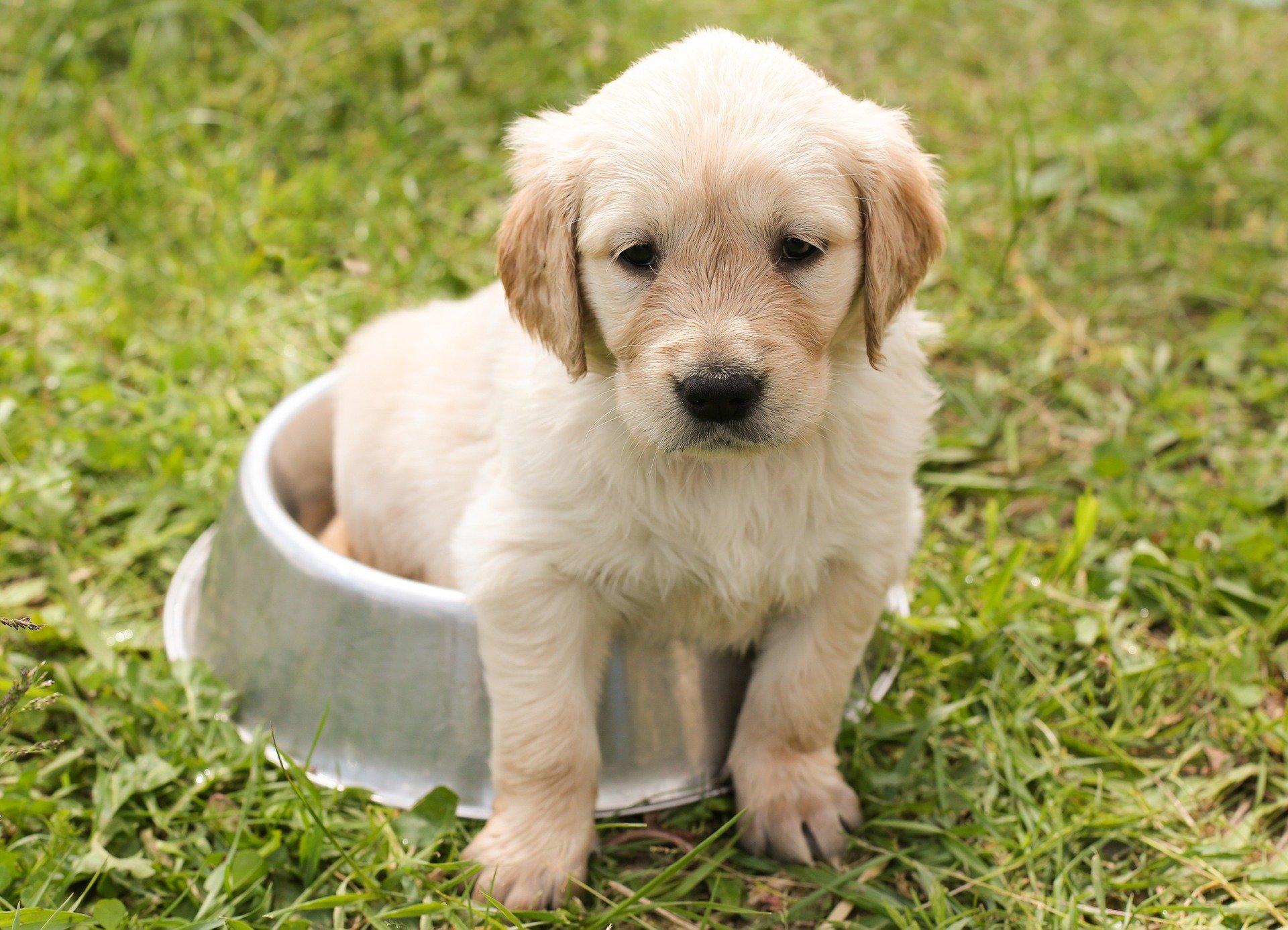 dog bowl puppy pixabay