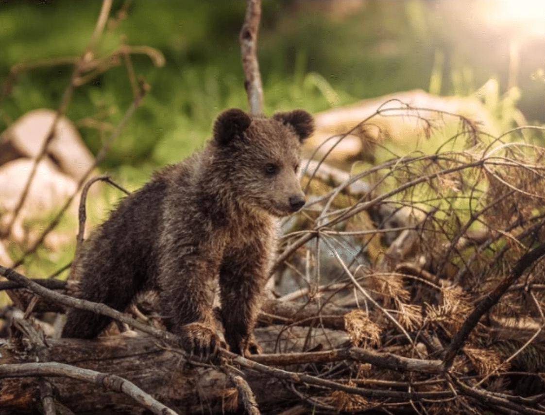 baby bear wildlife woods